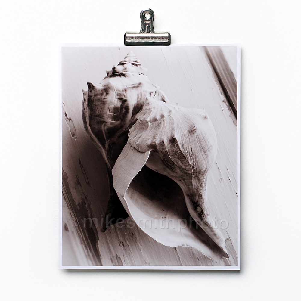 Conch Shell Photo Print Black And White Sepia